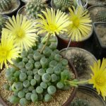گل ساکولنت فنستراریا