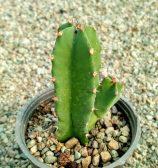 افوربیا رسینیفرا (euphorbia resinifera)