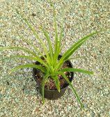 هچتیا اپیگینا (آناناسی)(hechtia epigyna)