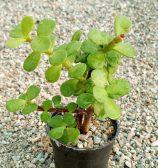 پورتولاکاریا افرا (خرفه ای)(portolacaria afra)
