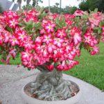 گل آدنیوم بونسای